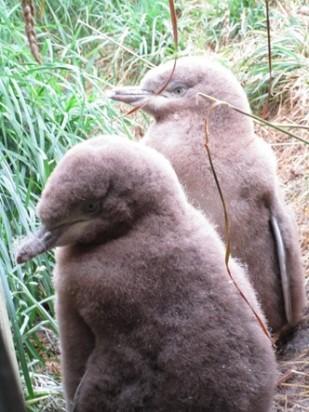 Yellow-eyed Penguin Chicks