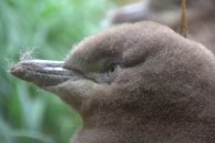 Yellow-eyed Penguin Chick