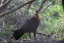 Australian Brush-Turkey
