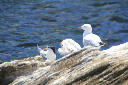 Crested Tern (and friends)