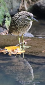 Juvenile Nankeen Night-Heron