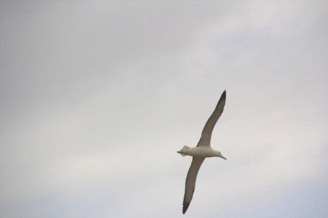 Royal Northern Albatross