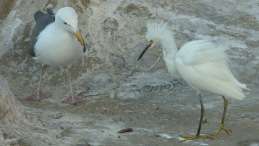 Snowy Egret and Pacific Gull