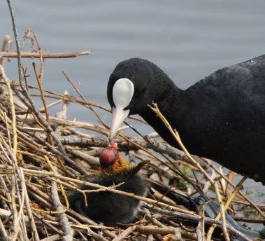 Papa Coot feeding chick