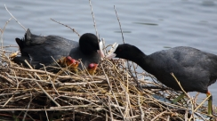 Coots, with Chicks