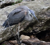 Great Blue Heron, Juvenile 2