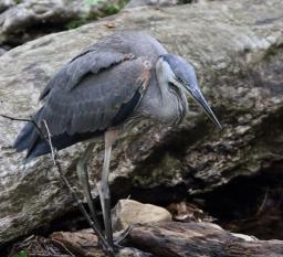 Great Blue Heron, Juvenile 2