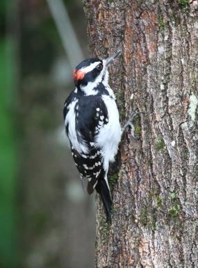 Hairy Woodpecker 2