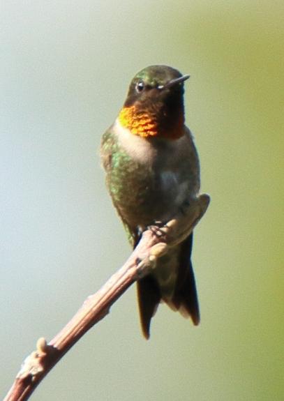 Ruby Throated Hummingbird 2