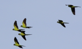 Nanday Parakeets in flight
