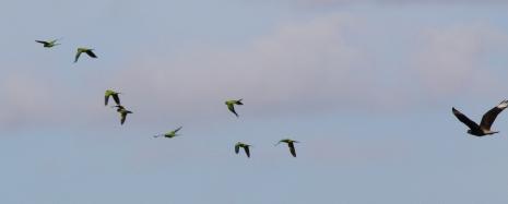 Parakeets pursued by Caracara