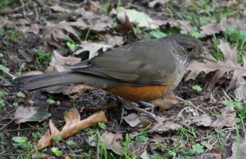 Rufous bellied thrush