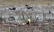 Wattled Jacana and Capybara