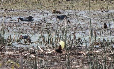 Wattled Jacana and Capybara