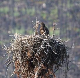 Bald Eagle chick on nest