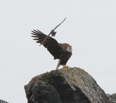 Black Oystercatcher mobbing Bald Eagle
