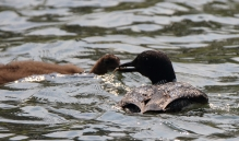 Common Loon with whitefish feeding chick