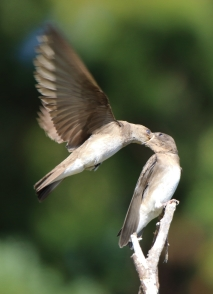 Purple Martin mother feeding chick