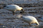 Snow Geese eating