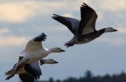 Snow Geese in flight, with dark morph