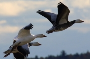 Snow Geese in flight, with dark morph