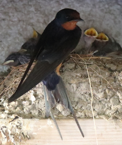 Barn Swallow and Chicks