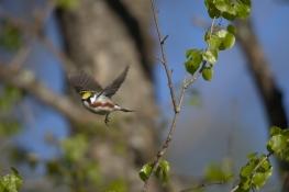 Chestnut-sided Warbler- in flight