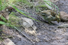 Spruce Grouse (f) and chick